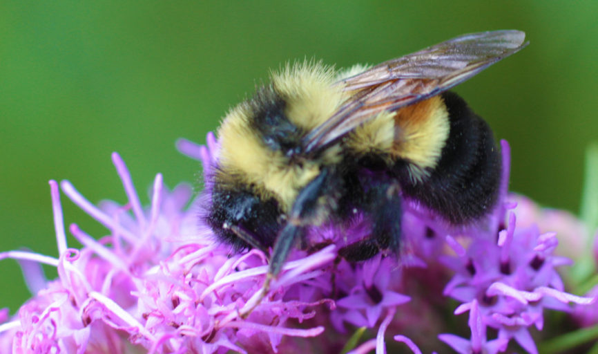 Warning: Bumblebees are now endangered