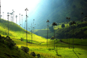 Wax Palm trees in the Valle de Cocorá, uneven green grassy terrain going up and down hills with stick thin wax palm trees scattered.