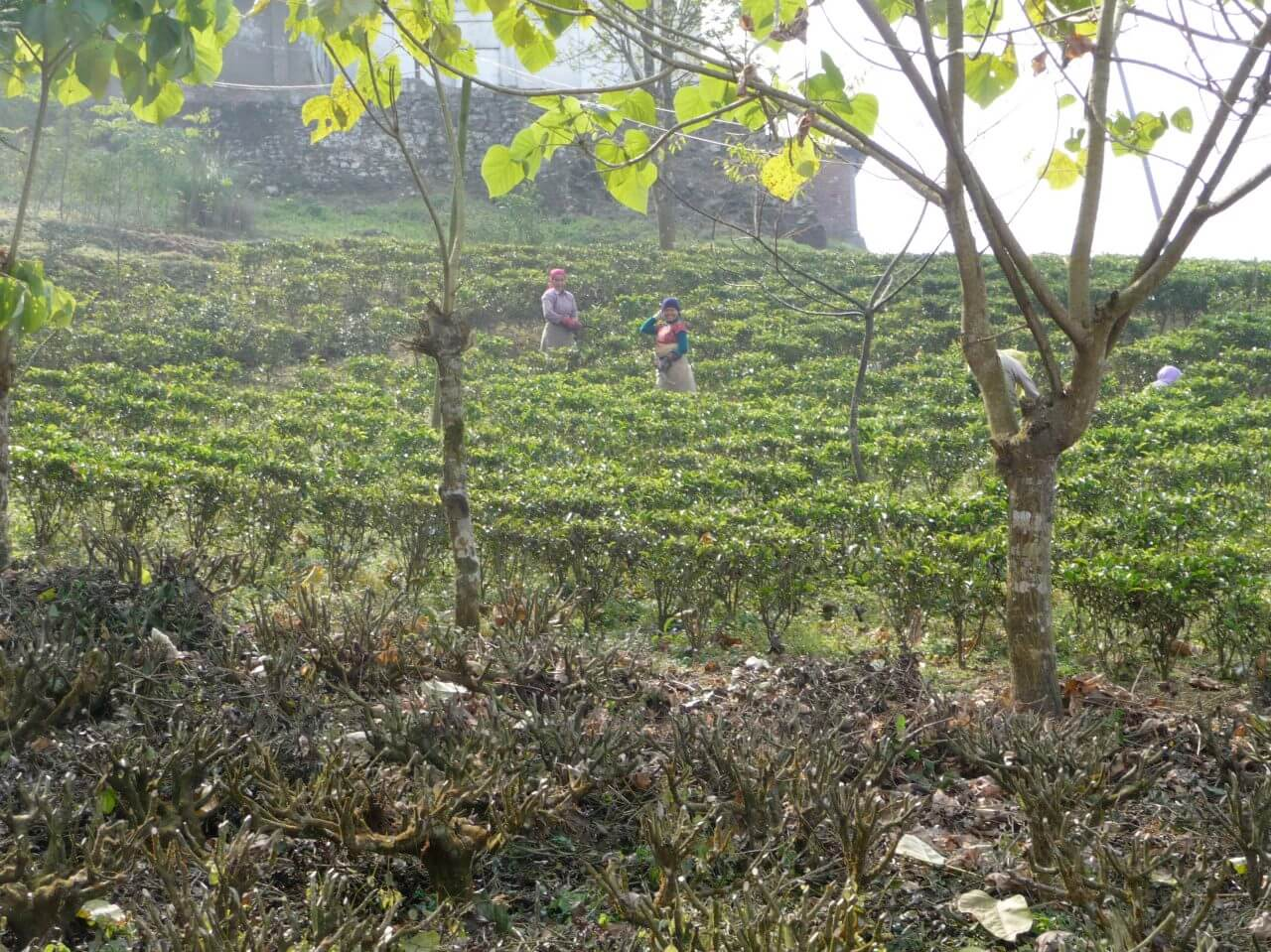 A field of tea bushes with several people picking their leaves.
