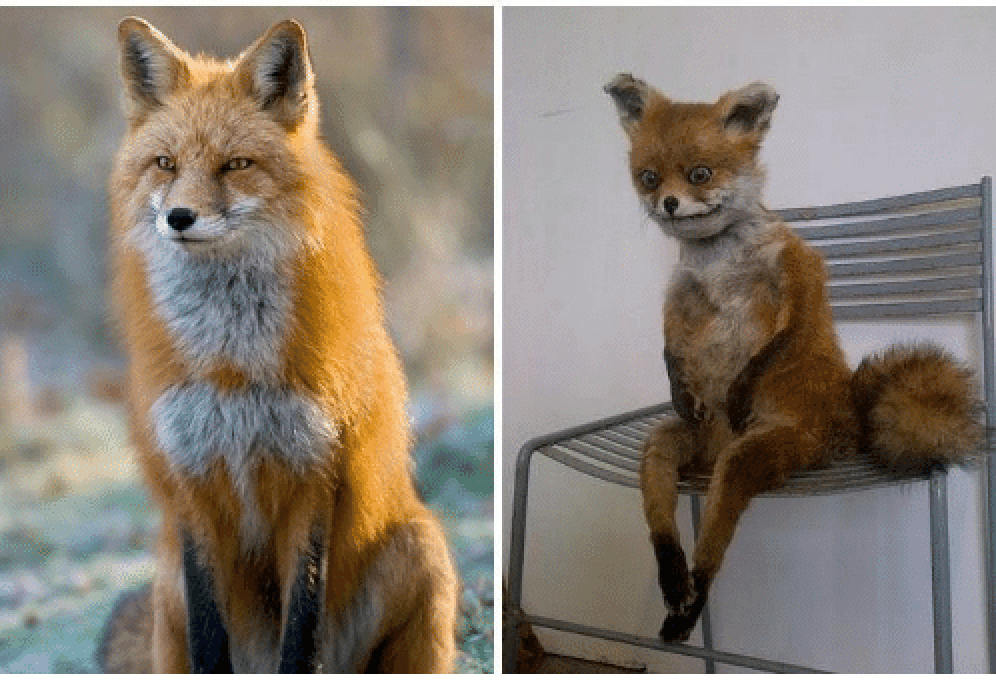 Two images are shown side by side. The one on the left shows a well-groomed fox. The one on the right shows a mangy, anxiety-ridden one sitting on a chair as if seated.