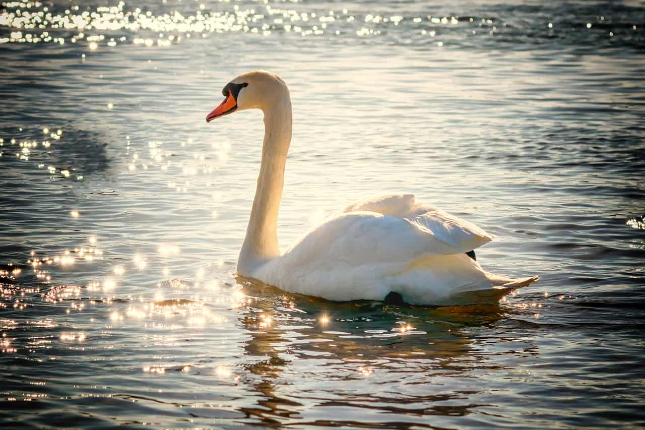 A swan on water reflecting sunlight.