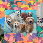 [Image description: a collage of 3 pictures of golden retrievers] Via The Golden Ratio