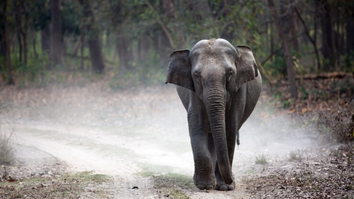 [Image Description: An Indian elephant is walking on a pathway, heading towards the camera] Via Unsplash