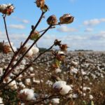 Image of a cotton field, bright blue sky and clouds