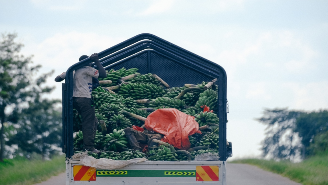 A man rides on the back of a truck transporting bananas